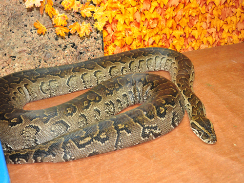 photo African rock python / <span class='cursive'>Python sebae</span>