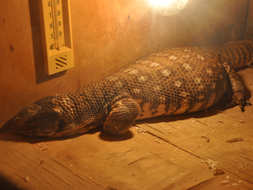 photo Savanna monitor / <span class='cursive'>Varanus exanthematicus</span>