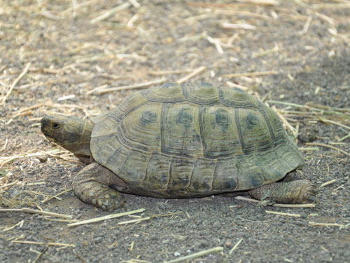 Middle East spur-thighed tortoise