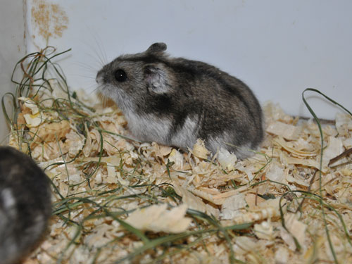 Striped hairy-footed hamster