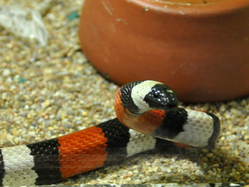 photo Lampropeltis triangulum campbelli / Pueblan milksnake