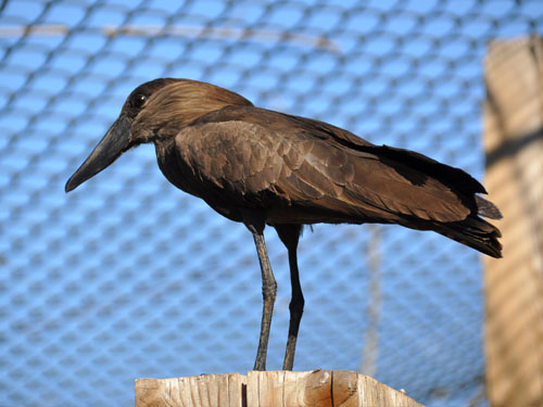 photo Hammerkop / <span class='cursive'>Scopus umbretta</span>