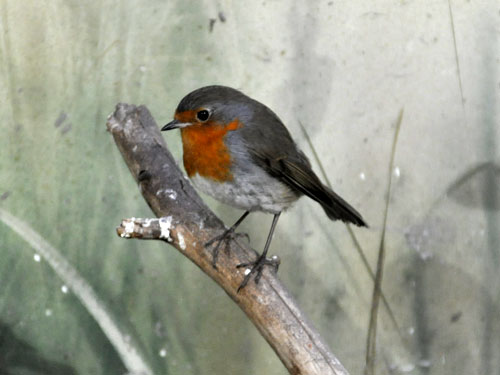 photo European robin / <span class='cursive'>Erithacus rubecula</span>