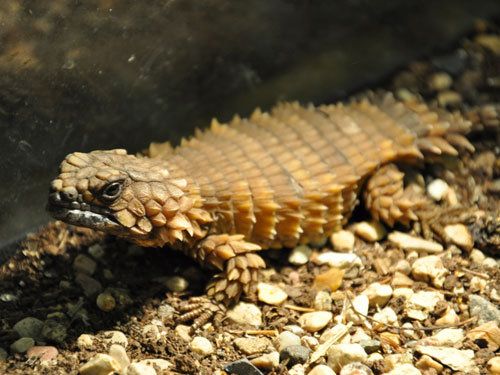 Armadillo girdle-tailed lizard