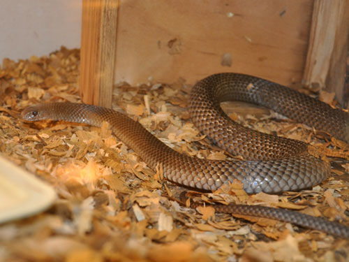 photo Eastern brown snake / <span class='cursive'>Pseudonaja textilis</span>