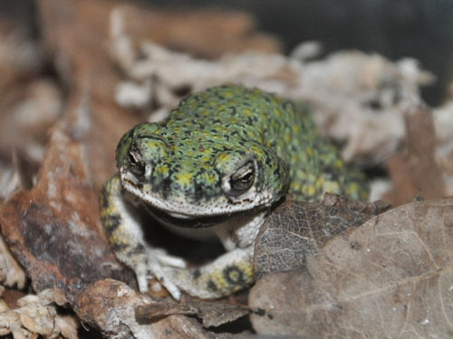 photo Green toad / <span class='cursive'>Bufo debilis</span>