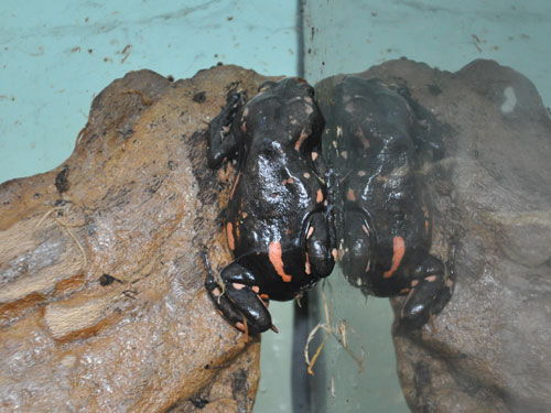 photo Red-banded frog / <span class='cursive'>Phrynomerus bifasciatus</span>
