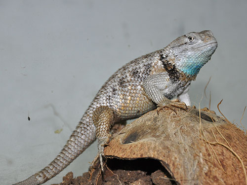 photo Desert spiny lizard / <span class='cursive'>Sceloporus magister</span>