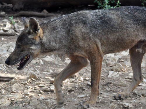 photo Spanish wolf / <span class='cursive'>Canis lupus signatus</span>