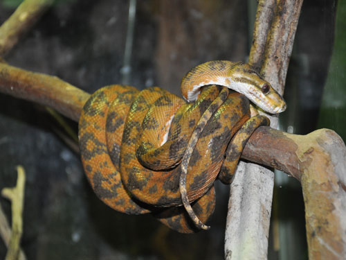 photo Corallus hortulanus / Garden tree boa
