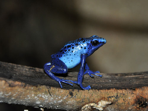 Dyeing poison frog