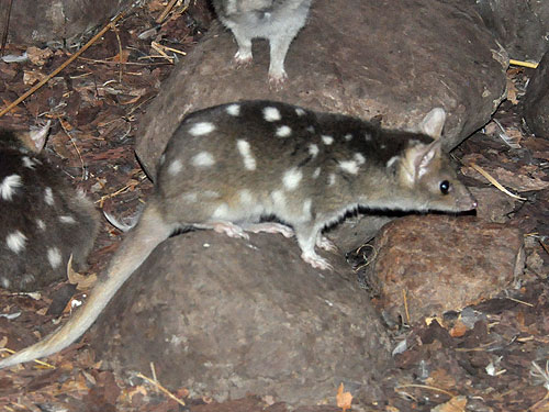 photo Eastern quoll / <span class='cursive'>Dasyurus viverrinus</span>
