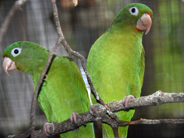 Golden-winged parakeet