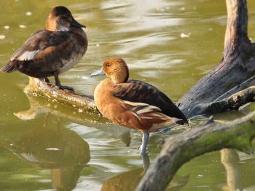 photo Fulvous whistling duck / <span class='cursive'>Dendrocygna bicolor</span>