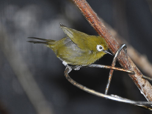 photo Kilimanjaro white-eye / <span class='cursive'>Zosterops eurycricotus</span>