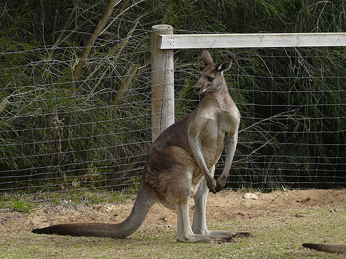 Great grey kangaroo
