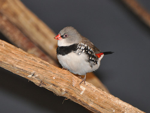photo Stagonopleura guttata / Diamond firetail finch