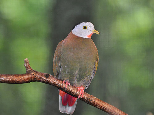 photo Black-naped fruit dove / <span class='cursive'>Ptilinopus melanospilus</span>