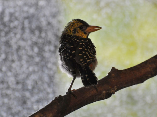 photo D'Arnaud's barbet / <span class='cursive'>Trachyphonus darnaudii</span>