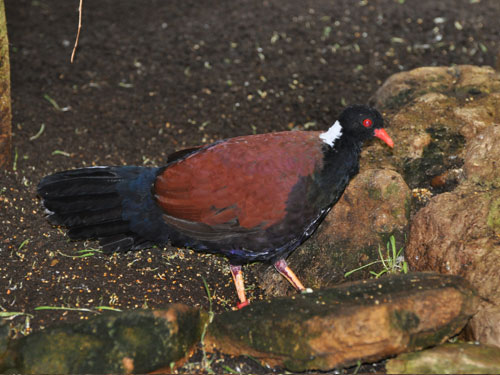 photo White-naped pheasant pigeon / <span class='cursive'>Otidiphaps aruensis</span>