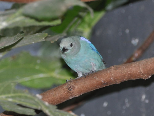 photo Blue-grey tanager / <span class='cursive'>Thraupis episcopus</span>