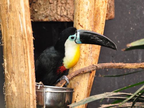 photo Channel-billed toucan / <span class='cursive'>Ramphastos vitellinus vitellinus</span>