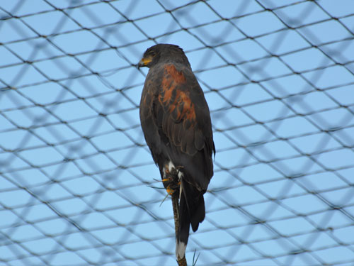 photo Harris' hawk/bay-winged hawk / <span class='cursive'>Parabuteo unicinctus</span>