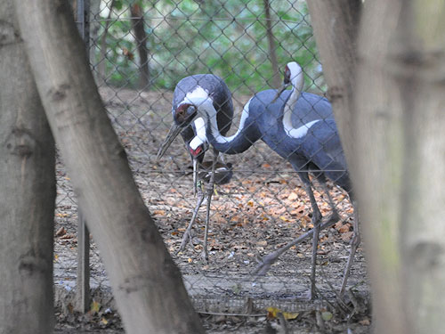 photo White-naped crane / <span class='cursive'>Grus vipio</span>