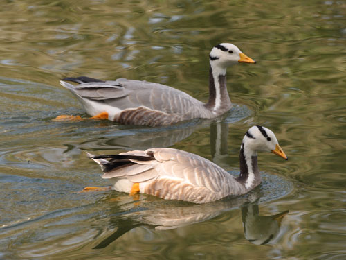 photo Bar-headed goose / <span class='cursive'>Anser indicus</span>