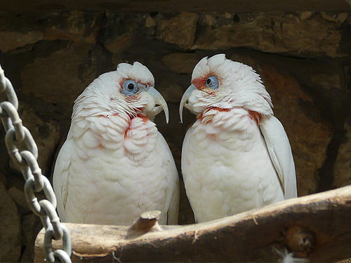 photo Long-billed corella / <span class='cursive'>Cacatua tenuirostris</span>