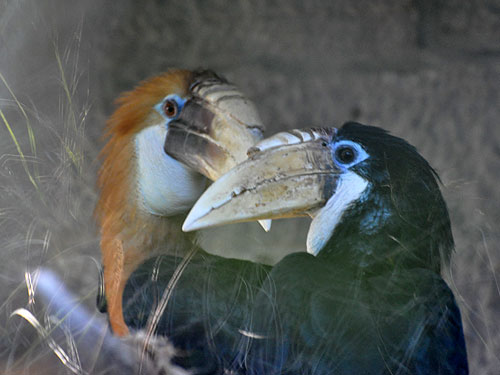 Papuan wreathed hornbill
