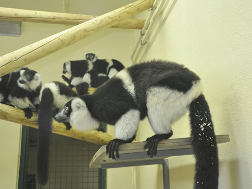 photo White-belted ruffed lemur / <span class='cursive'>Varecia variegata subcincta</span>