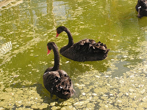 photo Black swan / <span class='cursive'>Cygnus atratus</span>