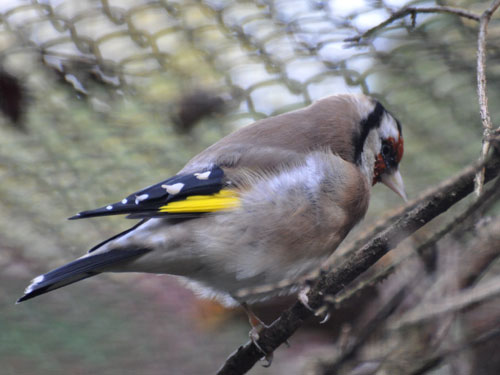photo European goldfinch / <span class='cursive'>Carduelis carduelis</span>