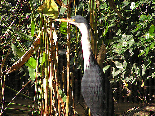 photo Pied heron / <span class='cursive'>Egretta picata</span>