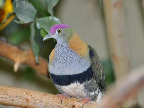 photo Superb fruit dove / <span class='cursive'>Ptilinopus superbus</span>