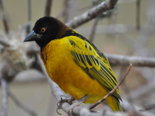 photo Ploceus cucullatus / Black-headed weaver
