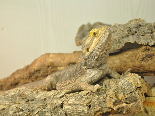 photo Inland bearded dragon / <span class='cursive'>Pogona vitticeps</span>