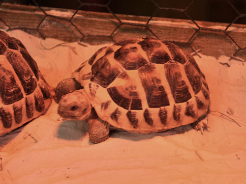 photo Hermann's tortoise / <span class='cursive'>Testudo hermanni</span>
