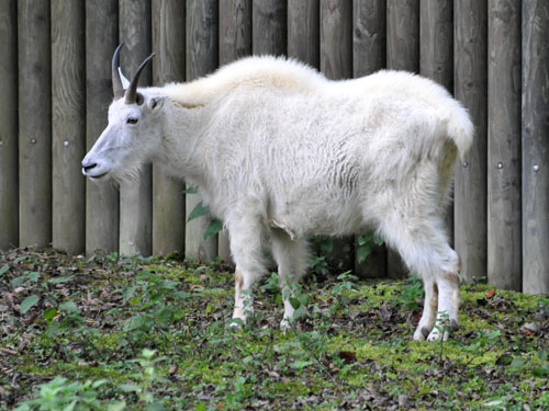 photo Rocky Mountain goat / <span class='cursive'>Oreamnos americanus</span>