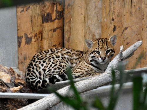 photo Ocelot / <span class='cursive'>Leopardus pardalis</span>