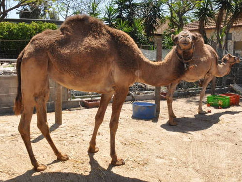 photo Dromedary / <span class='cursive'>Camelus dromedarius</span>