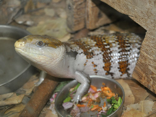 Blue-tonqued skink