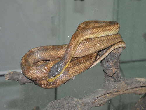 photo <span class='cursive'>Pantherophis guttatus</span> / Cornsnake/red ratsnake