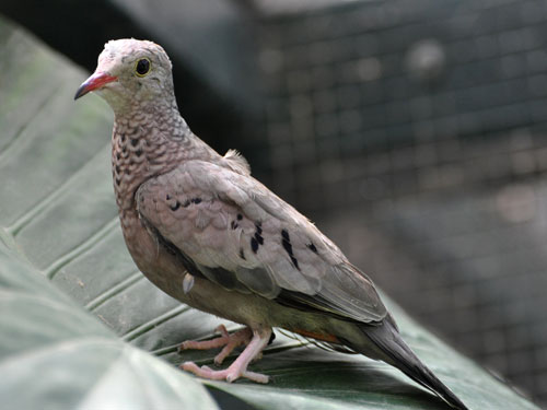 Scaly-breasted ground dove