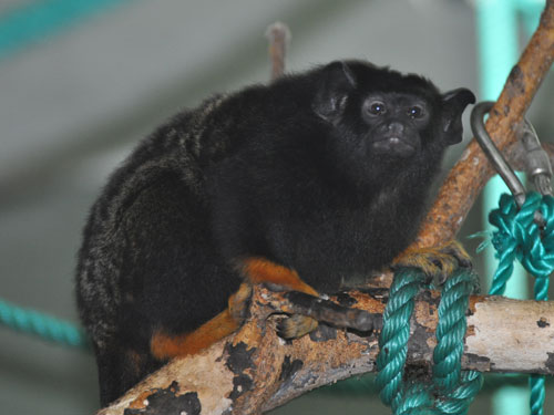 photo Red-handed tamarin / <span class='cursive'>Saguinus midas</span>