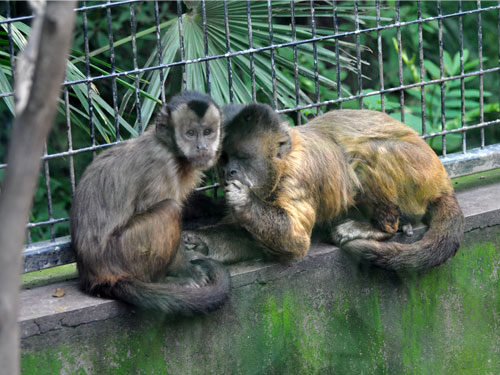 Black-striped capuchin