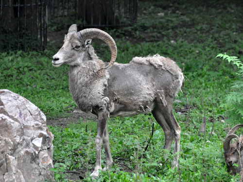 Northern Chinese argali