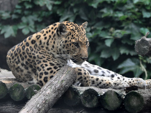 photo Chinese leopard / <span class='cursive'>Panthera pardus japonensis</span>