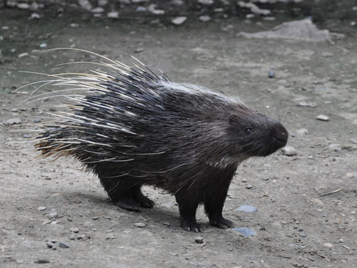 Subcrested porcupine